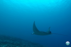 Manta Madness at Addu Atoll, Maldives