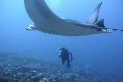This Manta, our first in this trip, surprised us by appearing directly over us