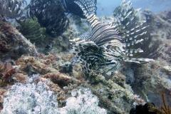 Sipadan-lionfish