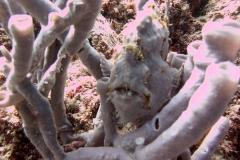 Sipadan-frogfish