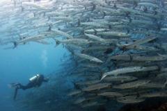 barracudas at sipadan