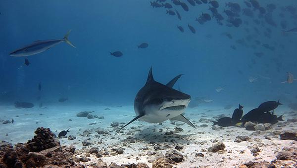 fuvahmulah diving